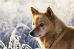 Finnish Spitz dog at Sunrise with rime. Portrait of a Finnish Spitz / Suomenpystykorva dog at sunup in winter with hoar or white frost in the background, finnish Stock Photography