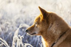Finnish Spitz dog at Sunrise with rime. Portrait of a Finnish Spitz / Suomenpystykorva dog at sunup in winter with hoar or white frost in the background, finnish Royalty Free Stock Photos