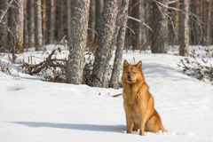 Finnish Spitz enjoys a sunny winter day Royalty Free Stock Images