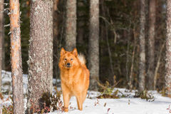 Finnish Spitz in snow Stock Photos