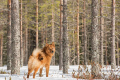 Adult Finnish Spitz in forest Stock Photography