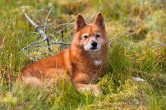 Finnish spitz outdoor. Portrait of hunting dog finnish spitz outdoors Stock Images