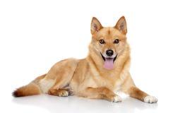 Finnish spitz portrait. Finnish spitz dog (Karelian Finnish laika) on a white background royalty free stock photography