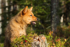 Finnish Spitz puppy Stock Photo