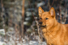 Finnish Spitz puppy Stock Photography