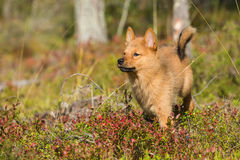 Finnish Spitz puppy Stock Images