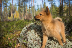 Finnish Spitz puppy Stock Image