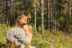 Finnish Spitz  puppy Stock Photos