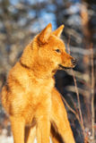 Finnish Spitz puppy on a winter day Stock Photos