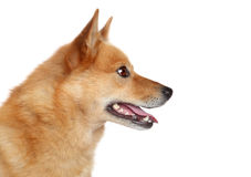 Finnish spitz. Side portrait Royalty Free Stock Photography
