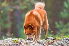 Finnish spitz sniffing traces of animals Royalty Free Stock Images
