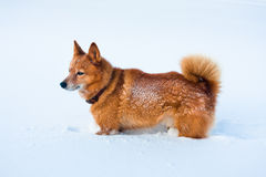 Finnish Spitz in snow Royalty Free Stock Photography