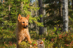 Finnish Spitz Royalty Free Stock Photos