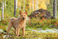 Finnish Spitz 10-week-old puppy Royalty Free Stock Photo