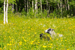 Finnsheeps in a meadow on a beautiful summer day Stock Images