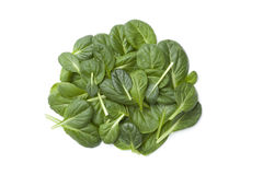Fino Fresco Italian lettuce Royalty Free Stock Images
