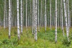 Fins landschap met de aardwildernis van berk bosfinland royalty-vrije stock foto