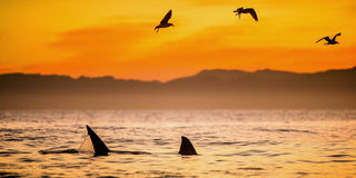 Fins of a white shark and Seagulls. Eat oddments from prey of a Great white shark Carcharodon carcharias, Red sunrise on the sky at early morning Stock Images
