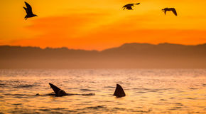 Fins of a white shark and Seagulls Stock Image