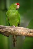 绿色鹦鹉Finsch的长尾小鹦鹉, Aratinga finschi,哥斯达黎加 免版税库存照片