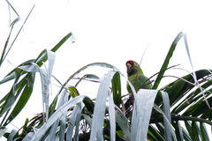 Finsch's parakeet -Psittacara finschi. Neotropical parakeet perched on top of a palm tree in San Carlos, Costa Rica Stock Photography