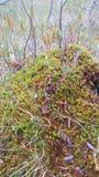 Finse Amerikaanse veenbessen stock afbeelding