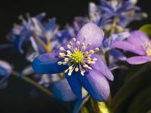 Fiołkowy błękit kwitnie makro- fotografię Kwiatów pączków zbliżenie zdjęcia royalty free