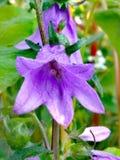 Fiołek - błękitny Harebell Kwitnie w łące zdjęcie stock