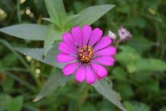 Fiołek; purpury; kwiat; okwitnięcie; kwiat; flory Zdjęcia Royalty Free