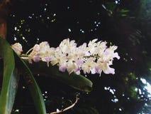 Fiołkowa i biała orchidea Zdjęcie Royalty Free