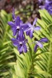 Fiołkowa Mokara orchidea obraz royalty free