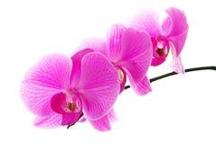 fiołkowe świeże odosobnione orchidee zdjęcie stock