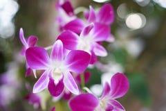 Fiołkowe białe orchidee Zdjęcia Royalty Free