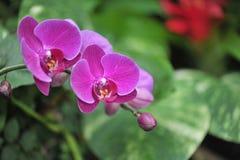 Fiołkowe orchidee Obraz Royalty Free