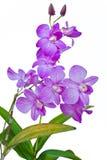 Fiołkowe tajlandzkie orchidee dalej odizolowywają. Obraz Royalty Free