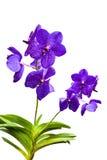 Fiołkowe tajlandzkie orchidee dalej odizolowywają. Fotografia Stock