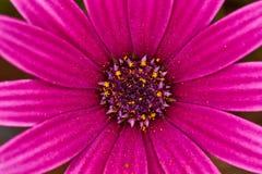 Fiołkowego kwiatu krańcowy makro- zakończenie w górę fotografii Obrazy Stock