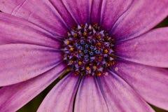 Fiołkowego kwiatu krańcowy makro- zakończenie w górę fotografii Obraz Stock