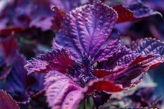 Fiołkowi basilów liście kulinarna pikantność zdjęcia royalty free