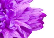 Fiołkowi chryzantema kwiatu płatki Fotografia Royalty Free