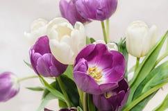 Fiołkowi i biali tulipanu bukieta kwiaty, zamykają up Obraz Royalty Free