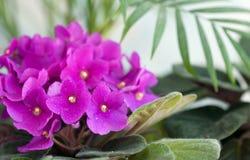 Fiołkowi kwiaty Zdjęcia Royalty Free