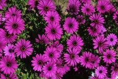 Fiołkowi kwiaty Fotografia Royalty Free
