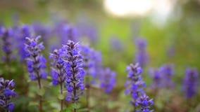 Fiołkowi kwiaty Lysimachia w zielonej trawie Flory Montenegro zbiory wideo