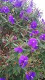 Fiołkowi okwitnięcie kwiaty Zdjęcia Stock