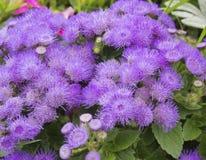Fiołkowi puszyści ogródów kwiaty Obraz Stock