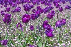 Fiołkowi tulipany Zdjęcia Stock