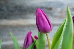 Fiołkowi tulipany przed drewnianym tłem Zdjęcie Stock