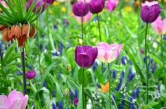 Fiołkowi tulipany w wiośnie, pod jaskrawym słońcem w ogródzie Keukenhof-Lisse, holandie Obrazy Stock