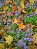 Fiołkowy ageratum kwitnie z spadać liśćmi klonowymi Obrazy Stock